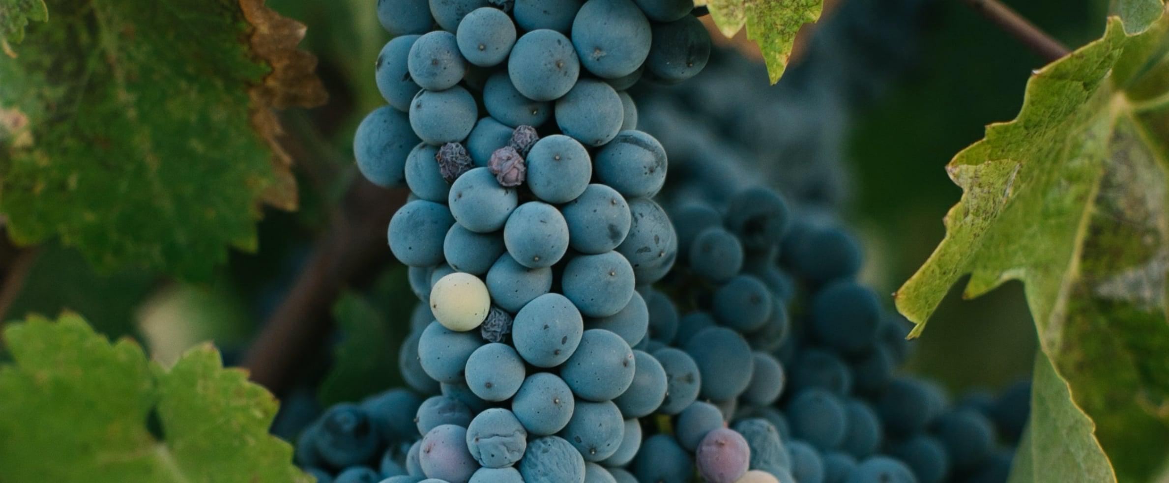 raisin et vins exceptionnels
